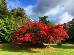 Japanese Maple (Marc Sayce) Tags: japanese maple acer palmatum autumn 2016 alice holt lodge forest hampshire farnham surrey south downs national park wrecclesham bucks horn oak forestry commission research station gardens english