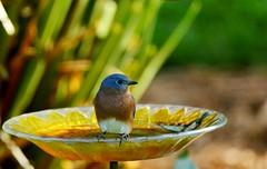 Eastern Bluebird DSC_0050 (blthornburgh) Tags: thornburgh tampa florida backyard bird songbird easternbluebirdsialiasialis easternbluebird bluebird garden nature blue birdbath