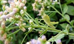 Hidden (Khaled M. K. HEGAZY) Tags: nikon coolpix p520 rassedr egypt nature outdoor closeup macro insect stamen pistil plant flower petal bud leaf leaves foliage green white black egyptianlocust
