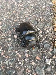 Stag Beetle, Hayes (looper23) Tags: stag beetle hayes kent london 2016
