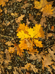 Oak leaves on the autumn forest ground. Backgrounds Close-up Yellow No People Leaf Full Frame Textured  Autumn Day Maple Leaf Outdoors Oak Leaves Forest Autumn Colors Nature (r01mueller) Tags: backgrounds closeup yellow nopeople leaf fullframe textured autumn day mapleleaf outdoors oakleaves forest autumncolors nature