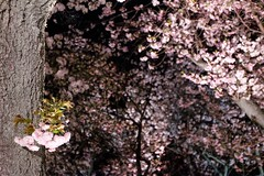 Cherry Blossom XIII (Douguerreotype) Tags: dark tree garden cherryblossom blossom kyoto castle cherry park night japan sakura bokeh