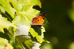 7K8A4750 (rpealit) Tags: scenery wildlife nature hyper humus newton eastern comma butterfly