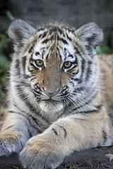 Amur Tiger Cub Isla (Korkeasaaren elintarha) Tags: korkeasaarenelintarha elintarha korkeasaari hgholmensdjurgrd djurgrd helsinkizoo hgholmen zoo animals zooanimals amurtiger amurtigercub pantheratigrisaltaica amurintiikeri