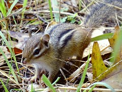 A tiny Least Chipmunk (Eutamias minimus); about 3 inches long (Lana Pahl / Country Star Images) Tags: ilovenature flickrnature fstopnaturelandscapeetc nature thenatureconservancy