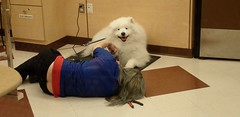 Lying Down On The Job (I Flickr 4 JOY) Tags: samoyed samoyeddog dogsalon dogstylist lyingdown lyingdownonthejob trim trimfeet clipping clippingfeet foothair petsmart buttcrack
