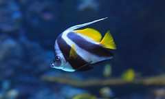 Angry fish  ? (Rajavelu1) Tags: fish aquarium singapore water art artland aroundtheworld creative anger stripes eyes canon6d travel simplysuperb