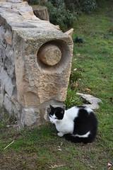 Gat a L'Ametlla de Segarra (esta_ahi) Tags: lleida gat gato cat felis silvestris catus felissilvestriscatus mammalia animales domsticos fauna lametlladesegarra segarra lasegarra lrida spain espaa