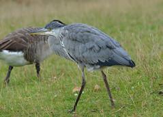 Heron (piinklady) Tags: heron birds wildlife wildbirds nature piinklady nikond7000 nikonafnikkor70300mm1456gvr bushypark