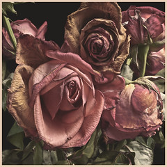 Roses 2016 #1: Fading Away (hamsiksa) Tags: plants flowers blossoms roses flora rose vegetation horticulture botany stilllife studio color pink dying wilting death metaphor