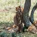 Mummy cheetah and kittens