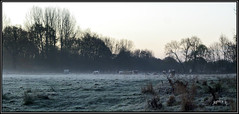 Cold Comfort. (Picture post.) Tags: landscape nature green cattle frost morning trees fields paysage arbre interestingness ice winter mist