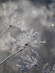 Ballerines en tutu de givre ***-- ° (Titole) Tags: umbel umbellifer ombelles ombellifère titole nicolefaton frost frosted bokeh friendlychallenges perpetual thechallengefactory storybookwinner