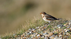 Snow Bunting (NickWakeling) Tags: snowbunting bunting sigma150600mmf563dgoshsmcontemporary salthouse norfolk nature northnorfolk canon60d birds wildlife