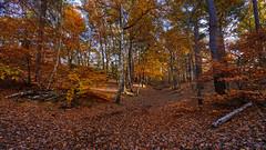 November woods (TanzPanorama) Tags: seasons autumn fall leaves woods orange color colour nature england addington addingtonhills tanzpanorama sonya7ii fe1635mmf4zaoss variotessartfe1635mmf4zaoss sel1635z sony scenery scenic 4seasons croydon