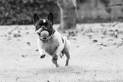 Odn (Sachada2010) Tags: sachada sachada2010 javier martin canon 80d tamron sp 150600mm di vc usd animal galicia nature naturaleza perro dog jugando playing pelota ball mascota pet french bulldog frances