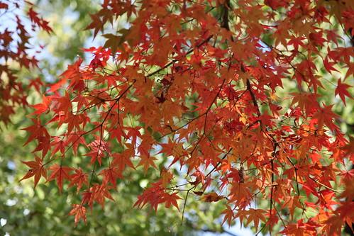 秋色のもみじ