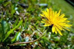 Dandelion Wish (Haze0709) Tags: flower dandelion wish yellow nature lanscape