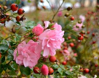 Letzte Rosen am Hagebutten-Strauch (Explore am 11.11.16)
