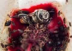 secret bee rituals 1 (piggsyface) Tags: orange tail bee orangetailbee hibiscus nativehibiscus ritual nativebee olympus tamron tamron180mm brisbane macro