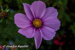 Dunkle Kosmee (Bernsteindrache7) Tags: autumn sony alpha 100 color flora fauna flower garden bloom blossom blume outdoor park landscape