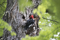 Chile (richard.mcmanus.) Tags: chile torresdelpaine bird woodpecker animal magellanicwoodpecker campephilusmagellanicus mcmanus wildlife southamerica