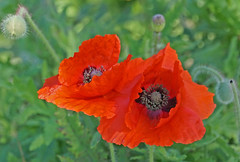 Side-by-Side (charlottes flowers) Tags: poppies sanfranciscobotanicalgarden