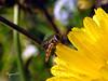 boire un p'tit coup ... (Phrygane57) Tags: fleur jaune profondeurdechamp bokeh insecte gouttelettes extérieur syrphe