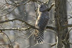 Hello Ladies (jrlarson67) Tags: barred owl raptor bird birdofprey tree wing wingspan portrait wild animal wildlife nikon d500 wisconsin feather nature