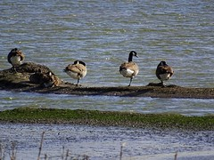 Hey, where is the second leg? (detlefgabriel17) Tags: ente enten duck ducks see lake water wasser wasservogel wildente wildduck