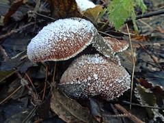 Frosty Fungi (Bricheno) Tags: glasgow bricheno westend winter macro mushroom fungus fungi kelvingrove kelvingrovepark scotland escocia schottland cosse scozia esccia szkocja scoia    frost