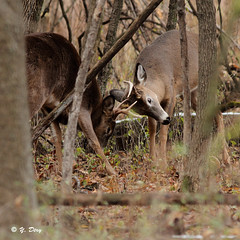 Exercice de combat / Training to fight (Yves Dry) Tags: cerfdevirginie combat automne2016 whitetaileddeer canoneos7d canonef300mmf4lisusm parcnationaldeslesdeboucherville nature wildlife mammifre mammal