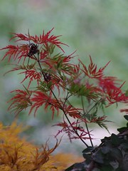 The Fall Acer Palmatum Color Explosion (bamboosage) Tags: helios 402 1585 preset m42 russia