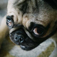 Heitu-00098 (kiddfei2012) Tags: pug dog pet puppy