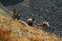 Val d'Aosta - Valsavarenche: vallone di Levionaz, i giovani sono sempre i piu' curiosi! (mariagraziaschiapparelli) Tags: valdaosta valsavarenche camminata escursionismo allegrisinasceosidiventa pngp parconazionaledelgranparadiso montagna stambecco levionaz casolaridilevionaz autunno