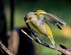 03 12 2016 (cathyk31) Tags: carduelischloris europeangreenfinch fringillids passriformes verdierdeurope bird oiseau
