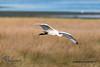 Espátula común (Platalea leucorodia) Cullereiro (Felipe Ogando) Tags: avesdegalicia aves felipeogando morfeofilms espátulacomún platalealeucorodia culleiro