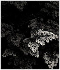 Tiny.Leaves (1911terryjpratt) Tags: bwflowers leafs leaves bw flowers plants macro wildlife landscape nature spring trees photo border abstract fern maidenhairfern blackandwhite monochrome
