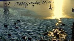 On a cold and frosty Evening (abrideu) Tags: abrideu panasonicdmctz20 birds water ice sunset outdoor ngc