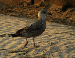 Bewildered juvenile seagull.... with frosty toes.... early morning on Weymouth Beach... (Sue - happy sparrow) Tags: weymouth dorset weymouthbeach beach frost sand juvenileseagull seagull commonseagull winter dawn
