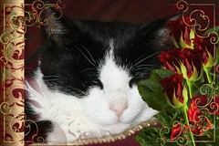 Charles Framed With Red Roses 003 (Chrisser) Tags: cats ontario canada nature animal animals cat ourcatcompanions crazyaboutcats kissablekat kissablekats bestofcats kissablekitties kissablekitty loonapix canoneosrebelt1i bicolouredshorthaired canonef75300mmf456iiiusmlens