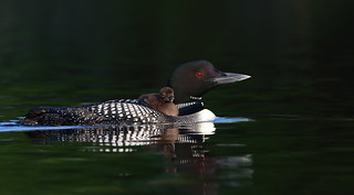 Common loon with chick (Explored)