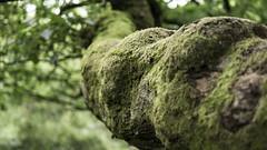 Padley Gorge (Jamie Goldsworthy) Tags: leica tree nature forest 50mm countryside moss dof bokeh walk derbyshire peakdistrict exploring depthoffield 25mm padley padleygorge pl25mm panoleica