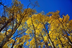 Standing under the Shimmering Leaves of Aspen Trees (Rocky Mountain National Park)