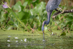 One For All (gseloff) Tags: bird texas feeding wildlife pasadena tricoloredheron mudlake baitfish menhaden kayakphotography gseloff
