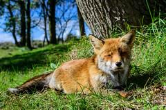 Fox (a3aanw) Tags: awd amsterdamsewaterleidingduinen