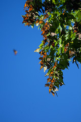 IMG_0904.jpg (erik oosterop) Tags: ontario canada fauna butterfly insect can leamington floraandfauna monarchdanausplexippus
