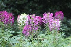 IMG_9464 (Jeff And) Tags: ireland plants flower gardens eire robinson floweres mountusher mountushergardens
