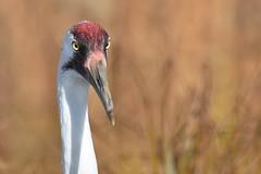 Whooping Crane closeup (stevelamb007) Tags: macro bird nature closeup wisconsin eyes nikon eyecontact crane contemporary beak sigma endangered endangeredspecies whoopingcrane supershot stevelamb 150600mm d7200