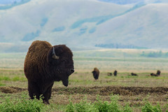 His Domain (jimmynotjim) Tags: park landscape nationalpark buffalo wildlife grand basin national wyoming wilderness teton tetons bison grandteton grasslands 500px ifttt